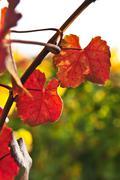 Stock Photo of closeup of vine leaves