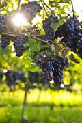 Stock Photo of purple grapes