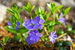 Stock Photo of purple wildflowers closeup