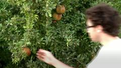 Collecting Pomegranate from a Tree Stock Footage