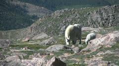 Mountain Goats Stock Footage