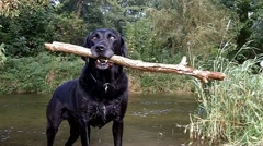 Labrador with large stick - stock footage