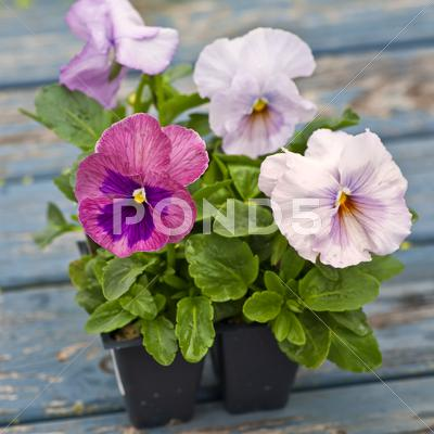 Stock photo of spring pansies