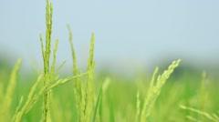 Rice Farm Stock Footage