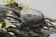 Stock Photo of european pond terrapin