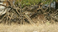 Non-Typical Whitetail Buck - stock footage