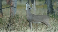 Whitetail Buck Sign Post - stock footage
