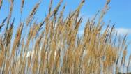 Reed on Lake Stock Footage