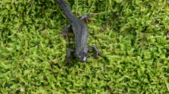 Stock Video Footage of newt triton eft amphibian crawl walk moss