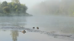 Duck swim misty fogy flowing river water early morning sunlight Stock Footage