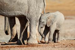 African elephant calf - stock photo