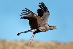 Secretary bird in flight Stock Photos