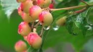 Rowan berries in the morning dew Stock Footage