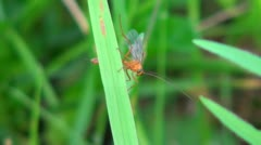 Red fly sits on a blade of grass Stock Footage