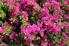 Closeup bougainvillea Stock Photos
