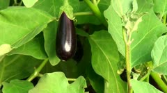 Beautiful bright aubergine Stock Footage