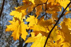 Stock Photo of autumn branch of maple tree