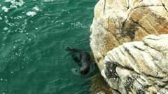 nz fur seal - stock footage