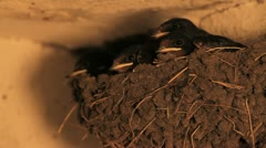 Barn Swallows Stock Footage