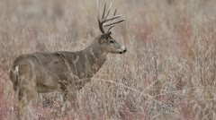 Non-Typical Whitetail Buck Stock Footage