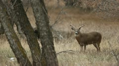Whitetail Buck - stock footage