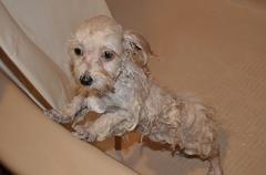 The Sad Little, Wet Puppy Stock Photos