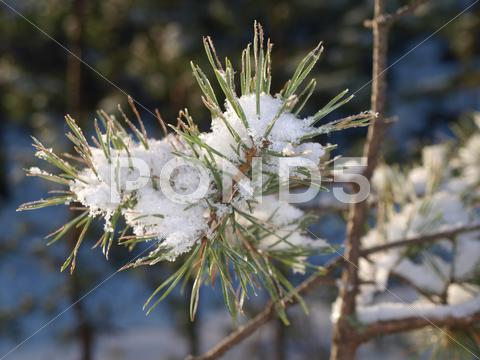 Stock photo of snow in spruce tree