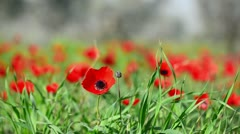 Red flower and green grass Stock Footage