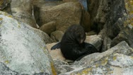 Stock Video Footage of new zealand fur seal