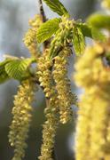 common hazel blossoms - stock photo
