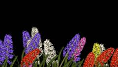 Lower Third Flowers - Hyacinth (+ ALPHA CHANNEL) Stock Footage