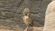 Stock Video Footage of burrowing owl, athene cunicularia, roosting