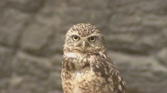 Burrowing owl, athene cunicularia, roosting Stock Footage