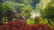 Copperband Butterflyfish and Tube-dwelling anemone Stock Footage