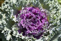 Decorative cabbage Stock Photos