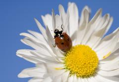 camomile with a ladybug - stock photo