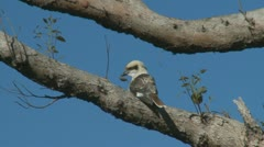 Kookaburra bird in Australia Stock Footage