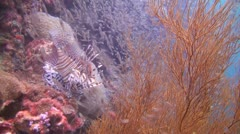 Tropical Underwater Lion Fish Clip 2 Stock Footage