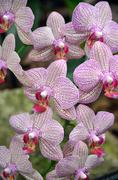 pink moth orchids - stock photo