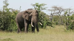 African Elephant in the Wild   (HD) Stock Footage