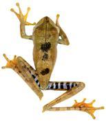 Convict Treefrog (Hypsiboas calcaratus), Ecuador - stock photo