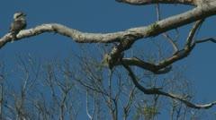 Kookaburra bird in tree,  Australia (2) Stock Footage