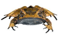 Spix's horned treefrog (hemiphractus scutatus), ecuador Stock Photos