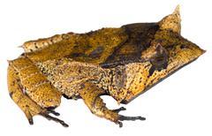 spix's horned treefrog (hemiphractus scutatus), ecuador - stock photo