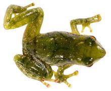 Green rain frog (pristimantis pseudoacuminatus), ecuador Stock Photos