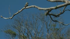 Kookaburra bird in tree,  Australia Stock Footage