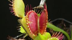Carnivorous plant catching a fly - stock footage