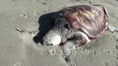 Mummified dead turtle on sand Stock Footage