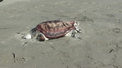 Mummified turtle zoom in Stock Footage