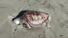 Mummy of turtle Stock Footage